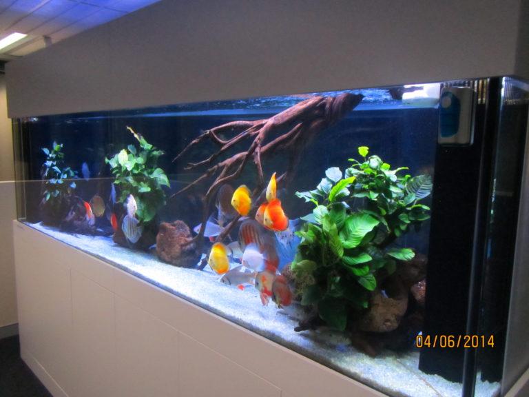 Custom Office Discus Aquarium Aquarium Architect Custom